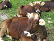 eliminate infected (PI) animals from the cattle population